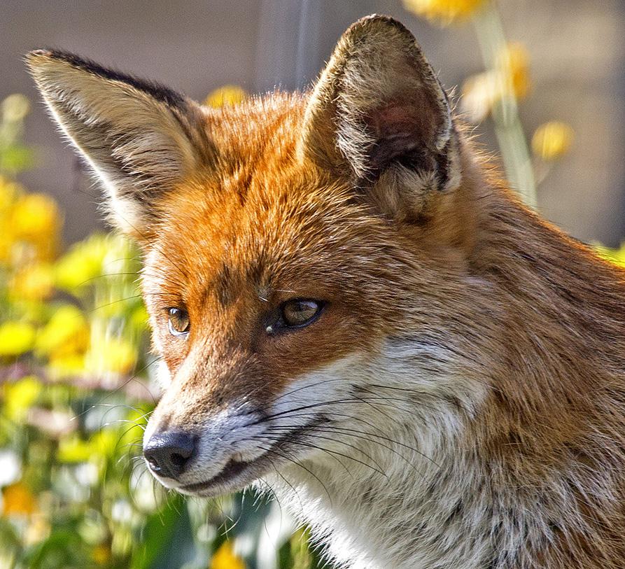 Dog Fox, Balham, 28/3/17
