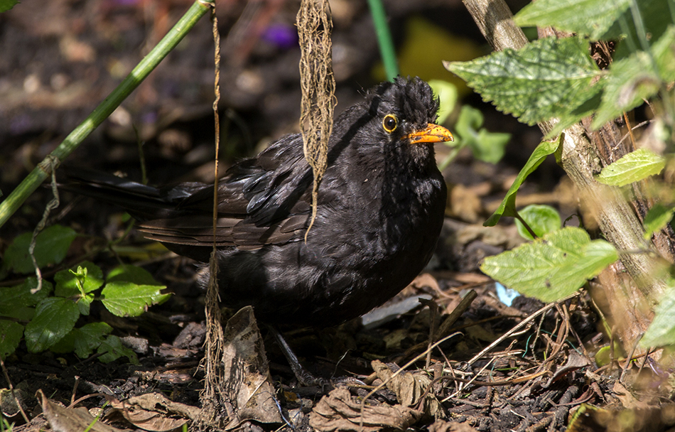 Marauding Blackbird, Balham, 10/8/17